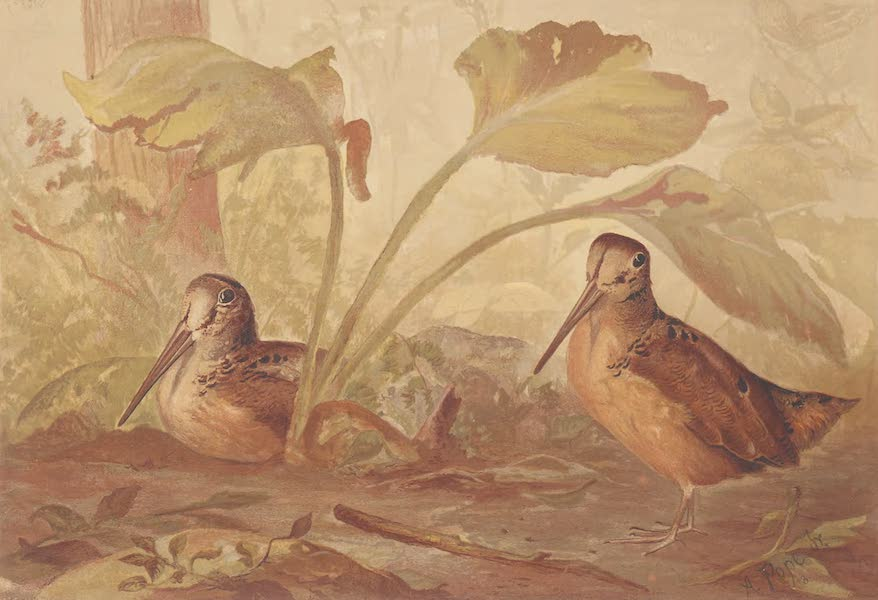 Upland Game Birds and Water Fowl - The Woodcock (1877)
