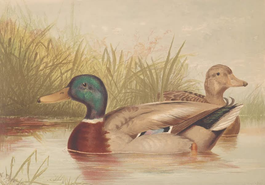 Upland Game Birds and Water Fowl - The Mallard Duck (1877)