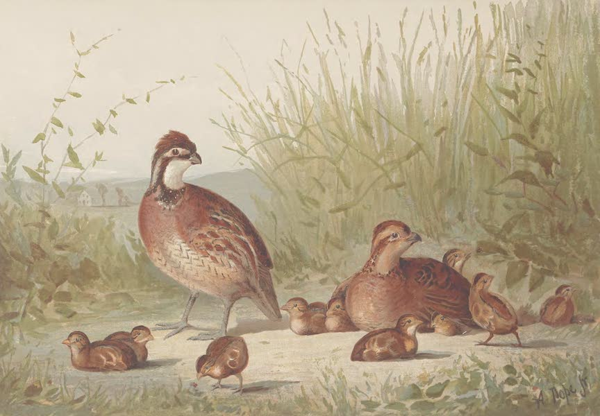 Upland Game Birds and Water Fowl - The American Quail (1877)