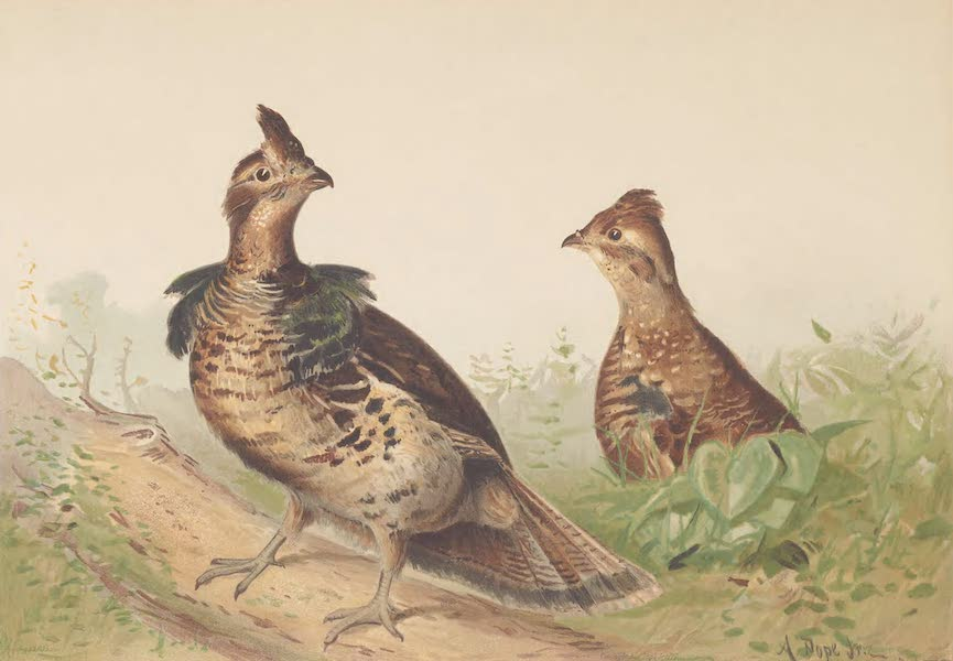 Upland Game Birds and Water Fowl - The Ruffed Grouse (1877)