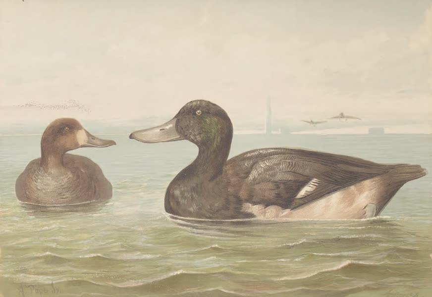 Upland Game Birds and Water Fowl - The Blue-Bill or Scaup Duck (1877)