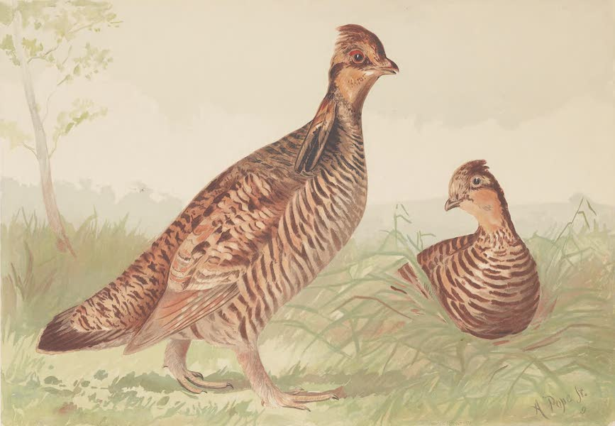 Upland Game Birds and Water Fowl - The Pinnated Grouse (1877)