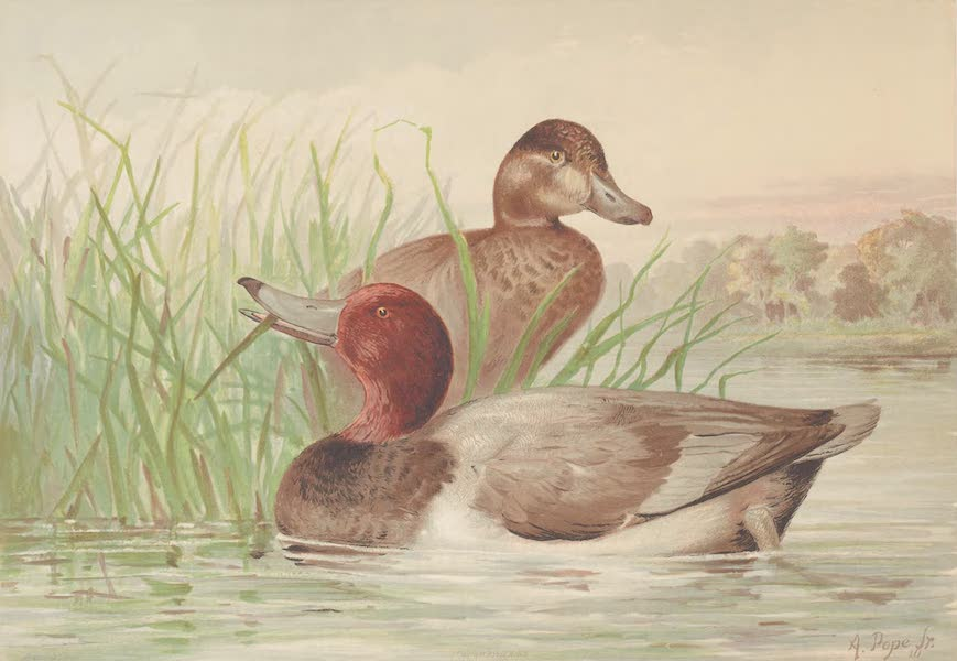 Upland Game Birds and Water Fowl - The Red-Head (1877)