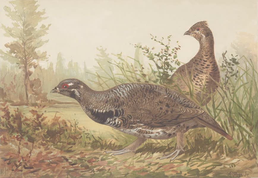 The Canada Grouse