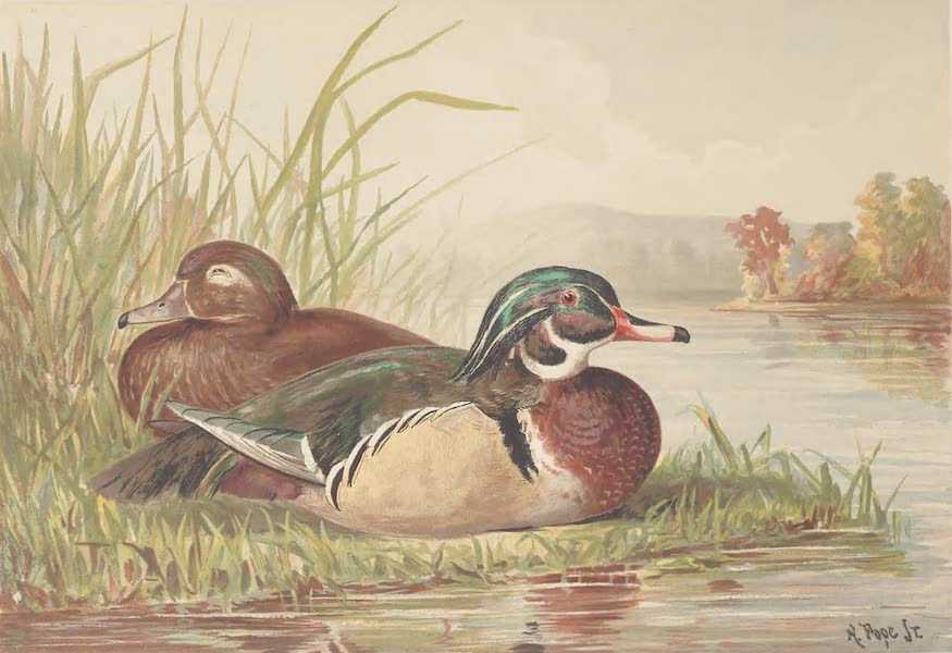 Upland Game Birds and Water Fowl - The Wood Duck (1877)
