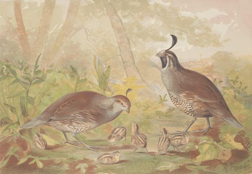 Upland Game Birds and Water Fowl - The Valley of Quail (1877)