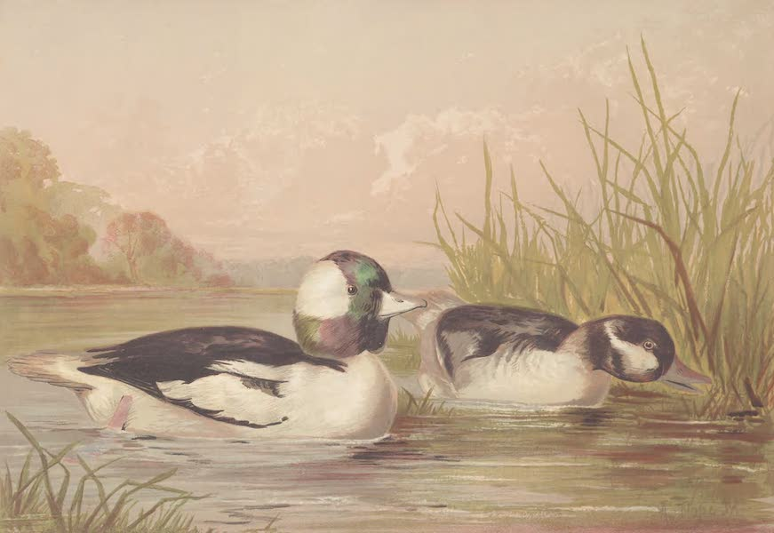 The Buffle-Headed Duck
