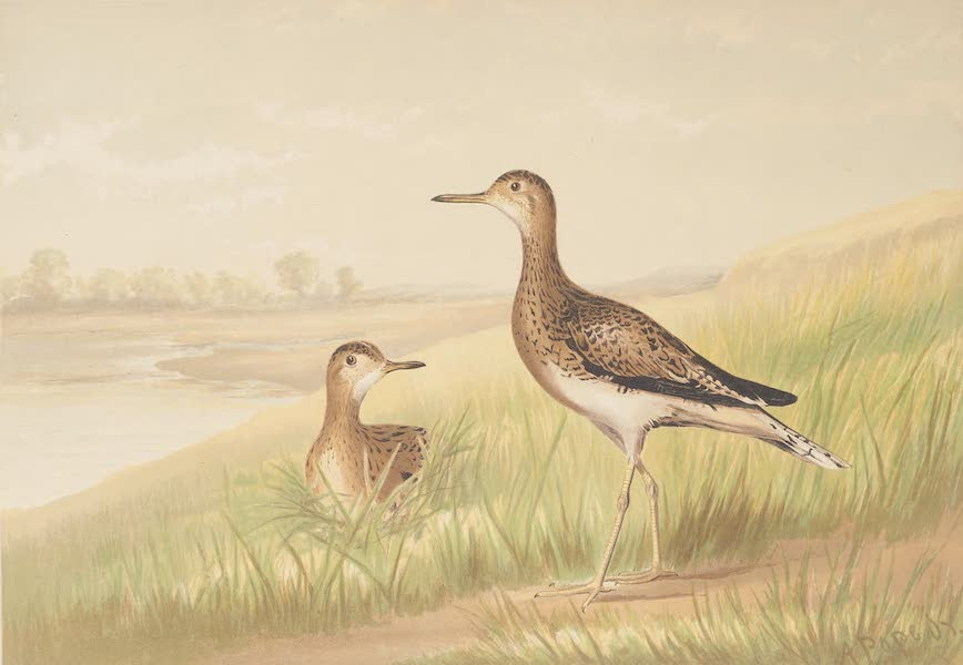 Upland Game Birds and Water Fowl - The Upland Plover (1877)