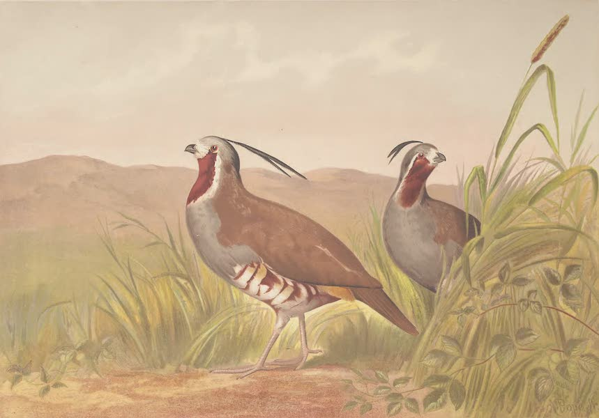 Upland Game Birds and Water Fowl - The Mountain Quail (1877)