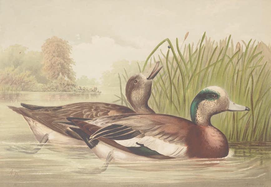 The Widgeon