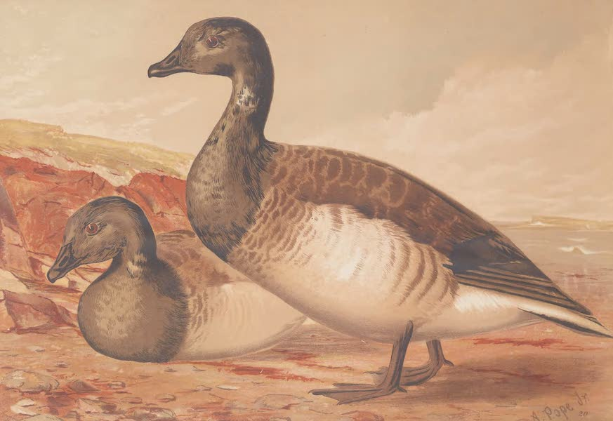 Upland Game Birds and Water Fowl - The Brant (1877)