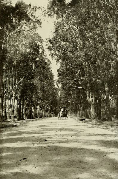 Uruguay by W. H. Koebel - Eucalyptus Avenue : Colon (1911)