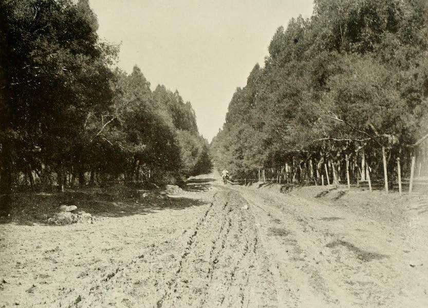 Uruguay by W. H. Koebel - Eucalyptus Forest : Piriapolis (1911)