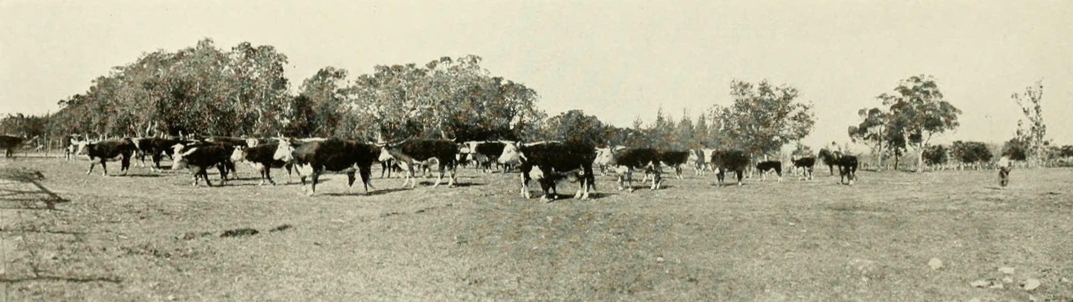 Uruguay by W. H. Koebel - Hereford Cattle on the Bichadero Estancia (1911)
