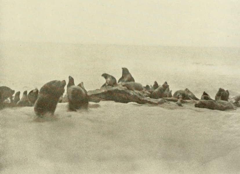 Uruguay by W. H. Koebel - Basking Seals (1911)
