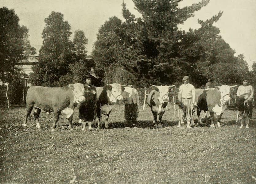 Uruguay by W. H. Koebel - Pedigree Cattle (1911)
