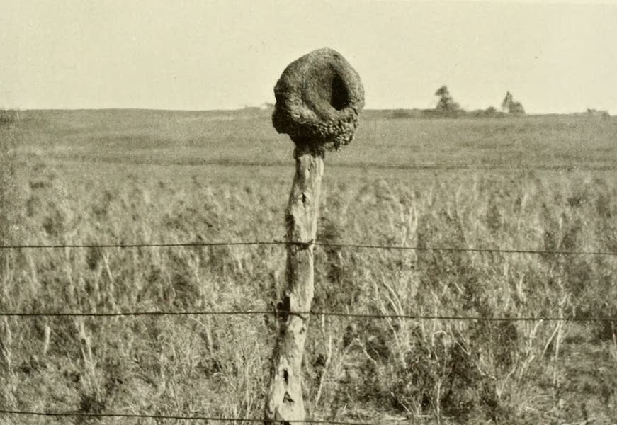 Uruguay by W. H. Koebel - Oven Bird's Nest (1911)