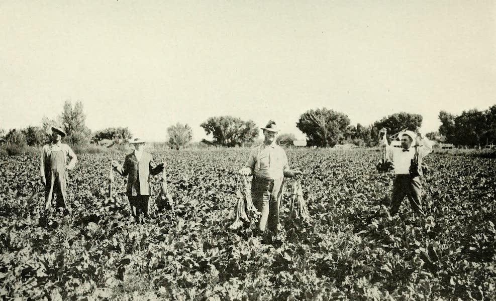 Utah, the Land of Blossoming Valleys - Sugar Beet Field (1922)