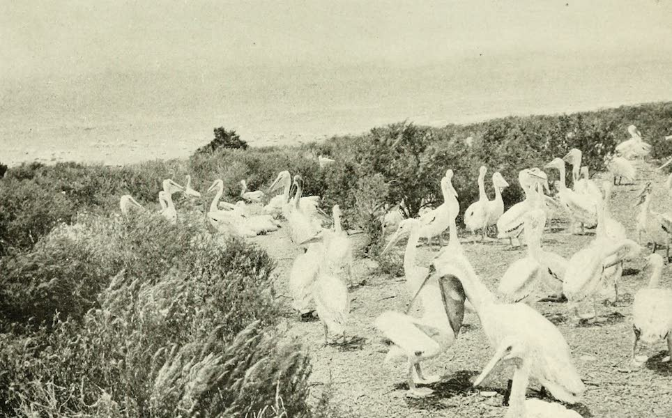 Utah, the Land of Blossoming Valleys - Pelicans on Hat Island, in Great Salt Lake (1922)
