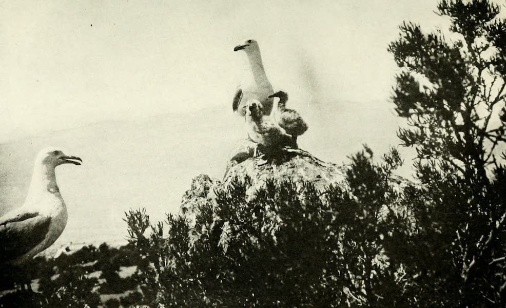 Utah, the Land of Blossoming Valleys - Sea-Gulls on Hat Island, in Great Salt Lake (1922)