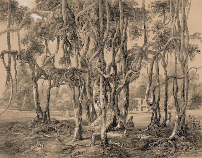 Views of Calcutta and its Environs - Banyan Tree (1848)