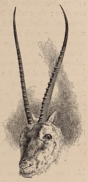 Visits to High Tartary, Yarkand, and Kashgar - Head of Antelope - new species with lyre-shaped horns (1871)