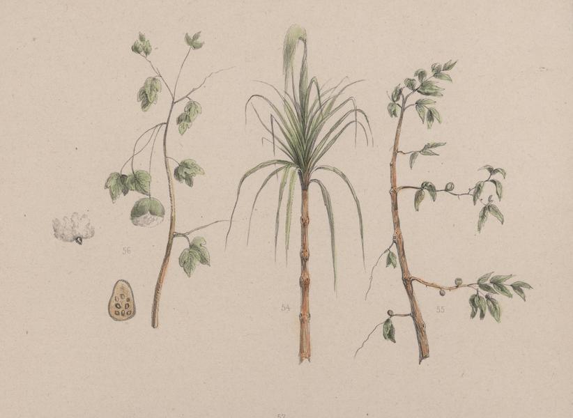 Voyage a Surinam - Cannes a sucre, Cafier & Cotonnier (1839)