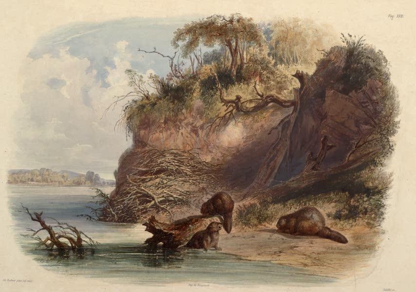 Voyage dans l'Interieur de l'Amerique du Nord Atlas - Biberbau am Missouri. / Constructions des castors sur le Missouri. / Beaver hut on the Missouri. (1840)