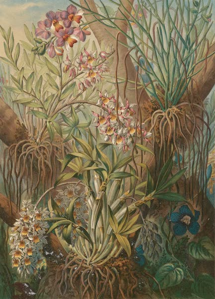 Voyage d'Exploration en Indo-Chine [Atlas-Vol. 1] - Orchidees-Epiphytes (1873)