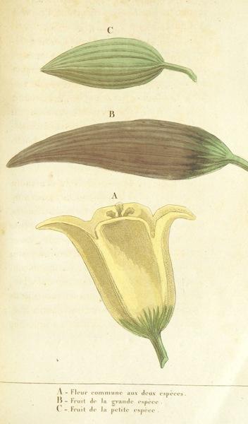 Voyage Historique et Politique au Montenegro - Fleur & Fruit du Bamia des Deux Especes (1820)