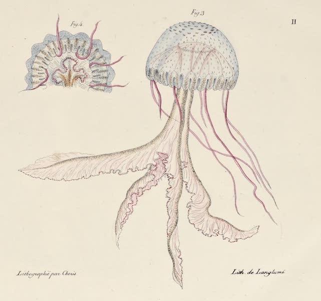 Voyage Pittoresque Autour de Monde - <i>Vers Marins</i> (Jellyfish) (1822)