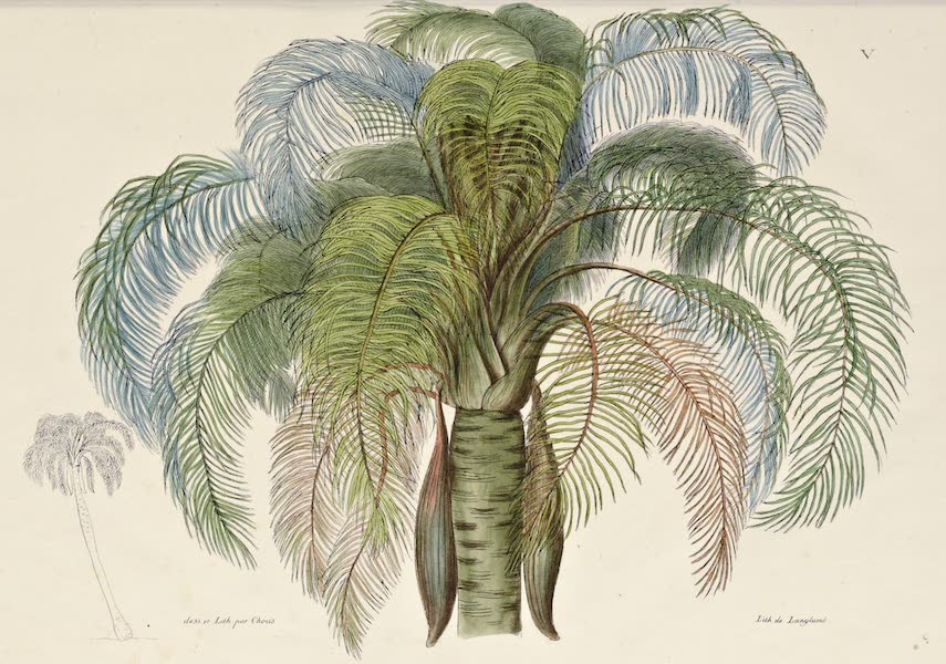Voyage Pittoresque Autour de Monde - Coquero de Bresil (Cocos Romanzoffiana Cham.) (1822)