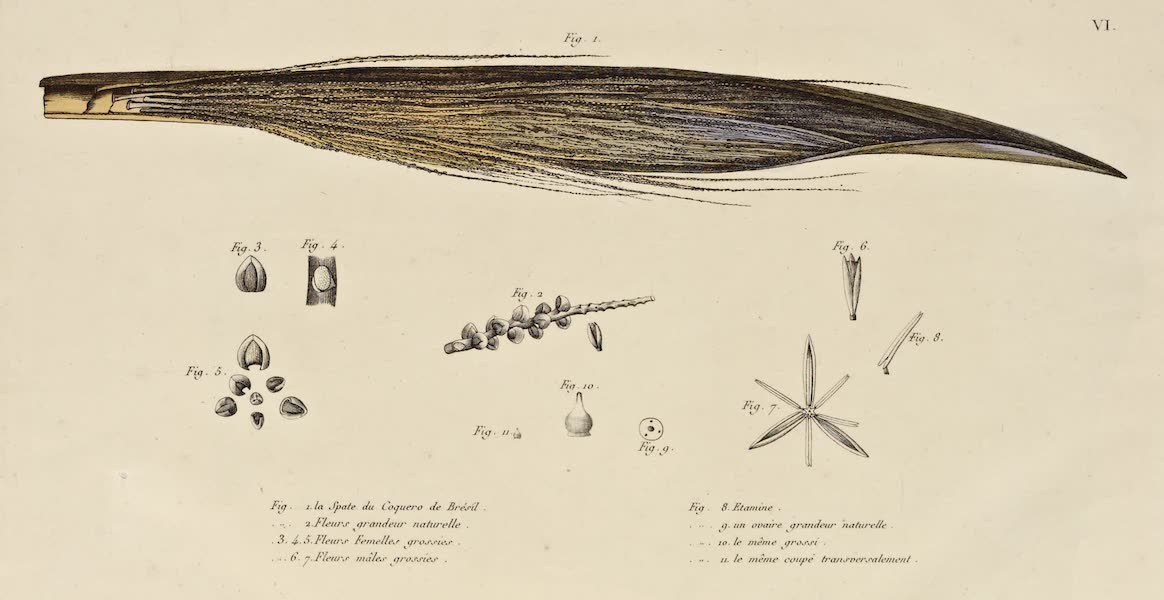 Voyage Pittoresque Autour de Monde - La Spate du Coquero de Bresil (11 figs) (1822)