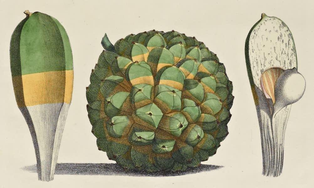 Voyage Pittoresque Autour de Monde - Fruit du Banquois, des iles Mariannes (1822)