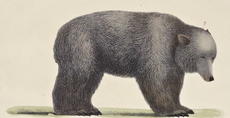 Voyage Pittoresque Autour de Monde - L'Ours gris de l'Amerique Septentrionale (1822)