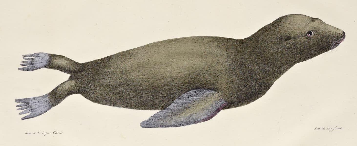 Voyage Pittoresque Autour de Monde - Jeune lion marin de la Californie (1822)