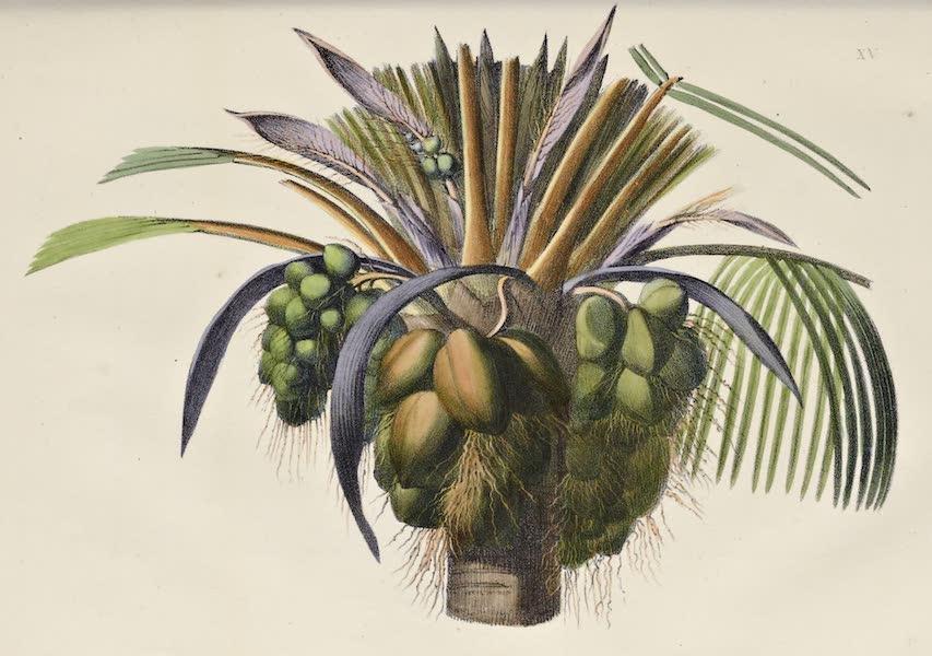 Voyage Pittoresque Autour de Monde - Fruit du Cocotier. (1822)