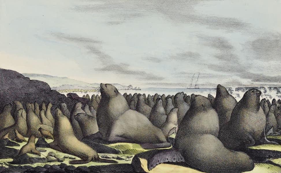 Voyage Pittoresque Autour de Monde - Lions marins dans l'ile de St. Georg (1822)