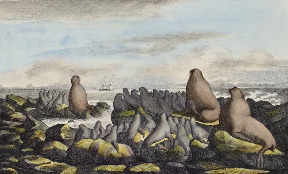 Voyage Pittoresque Autour de Monde - Ours marins dans l'ile de St. Paul (1822)