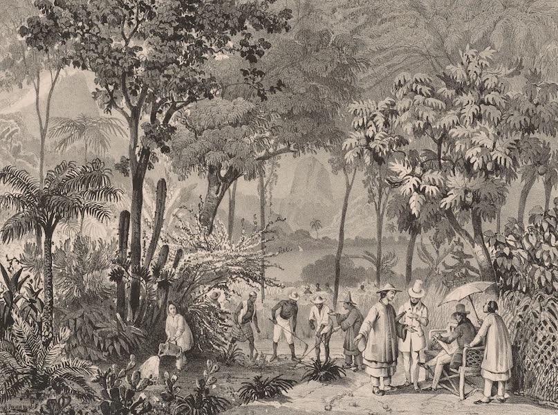 Voyage Pittoresque dans le Bresil - Plantation Chinoise de The, dans le Jardin Botanique de Rio-Janeiro (1835)