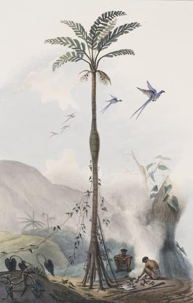 Voyage Pittoresque et Historique au Bresil Vol. 1 - Cocotier Barrigudo (Ventru.) (1834)
