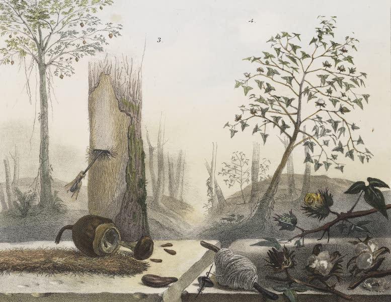 Voyage Pittoresque et Historique au Bresil Vol. 1 - Vegetaux qui Servent a faire des Liens - Sapoucaya & Cotonnier (1834)