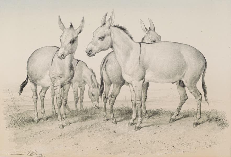 Voyages au Soudan Oriental et Dans l'Afrique Septentrionale - Planche 10. Onagres du désert de Naga. (1852)