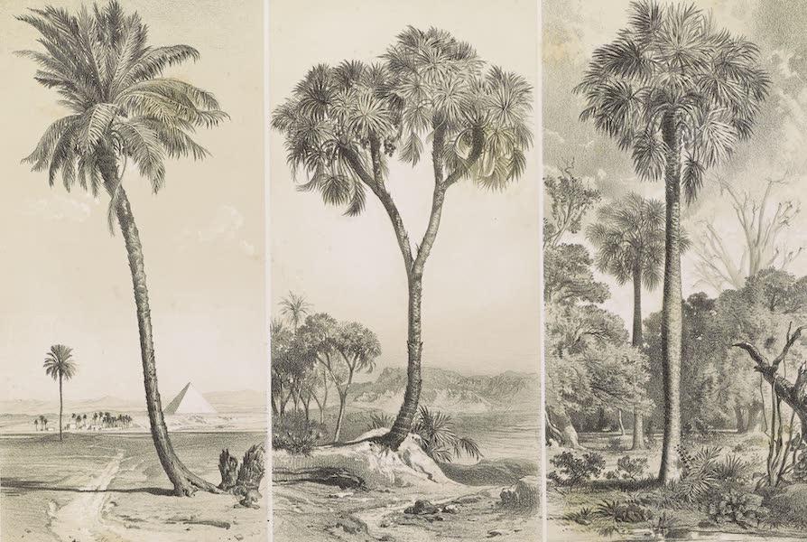 Voyages au Soudan Oriental et Dans l'Afrique Septentrionale - Planche 11. Parallèle des palmiers qui se succèdent sur le cours du Nil (1852)