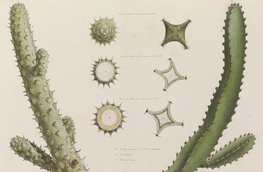 Voyages au Soudan Oriental et Dans l'Afrique Septentrionale - Planche 14. Détails des Euphorbes. (1852)