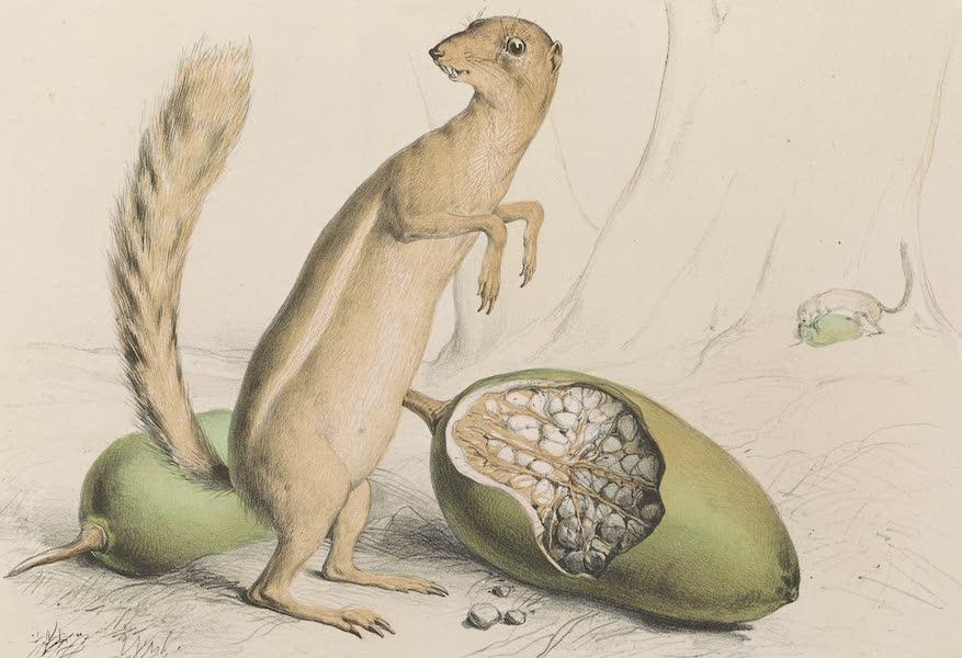 Voyages au Soudan Oriental et Dans l'Afrique Septentrionale - Planche 24. Écureuil fossoyeur et fruit du Baobab. (1852)