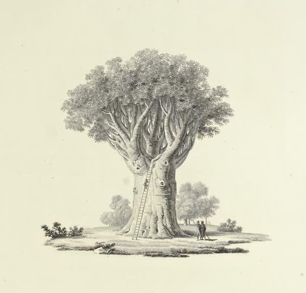 Vues des Cordilleres et Monumens de l'Amerique - Le dragonnier de l'Orotava (1813)