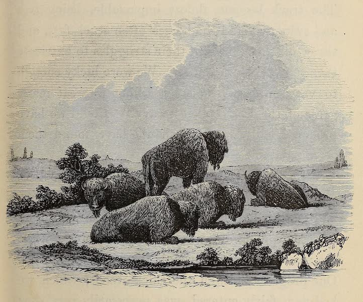 Wanderings of an Artist among the Indians of North America - Group of Buffaloes (1859)