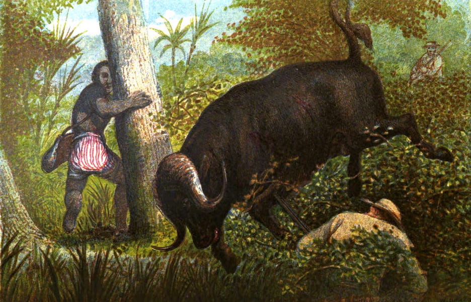 Wild Sports of the World - The Buffalo - A Miraculous Escape (1862)